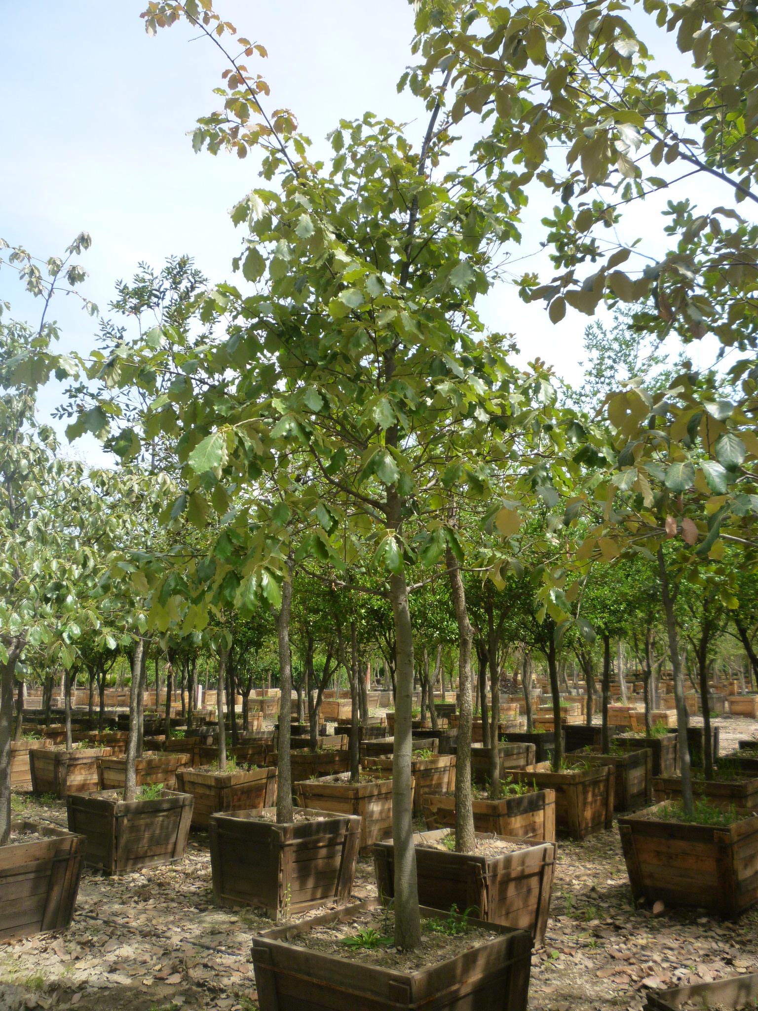 viveros productores de guanajuato vpg viveros en