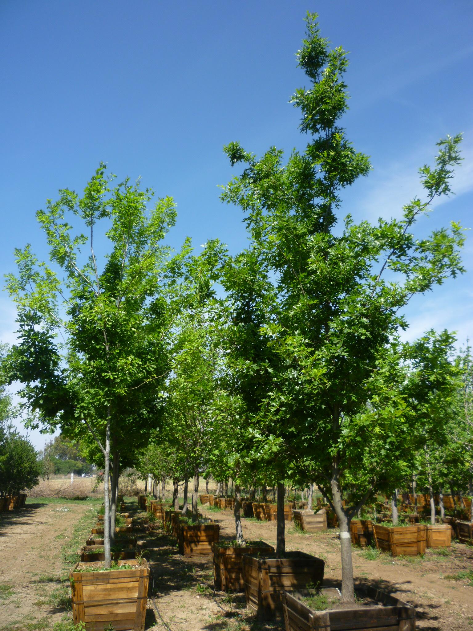 Productos viveros productores de guanajuato vpg for Viveros de arboles en madrid